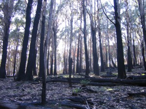 Although the understorey burnt, the trees survived, fairly infrequent in fires in this forest type