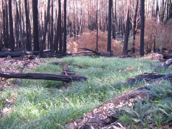 regrowth in a swampy area just near King Saddle, about 3 months after the 2007 fires
