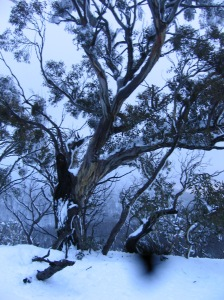 snow gum elder on St Bernard