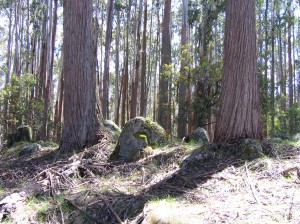 alpine ash forest, Mt Stirling