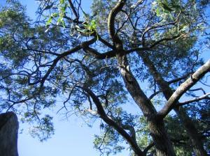 Lightwood trees