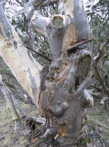 Snow Gum on Bluff Spur