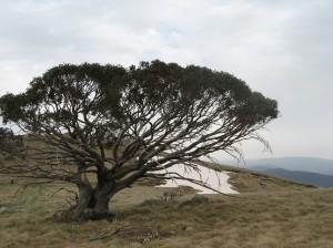 The Tali tree