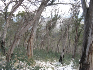 snow gums, north side