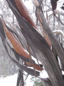 bark trailing off burnt snow gums, a few years on from the fires